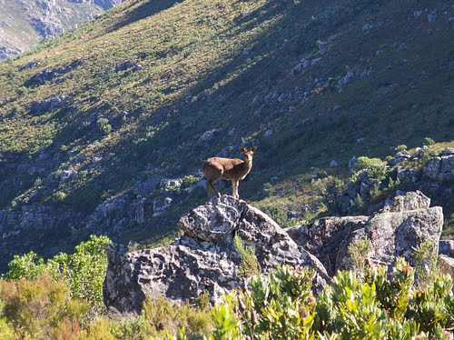 Klipspringer near the pass