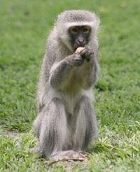 Cape Vervet Monkey
