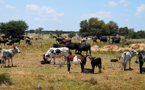 Prime cattle farming country country