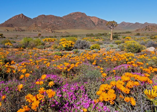 Spring time in Namaqualand