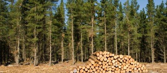 Sabie forestry
