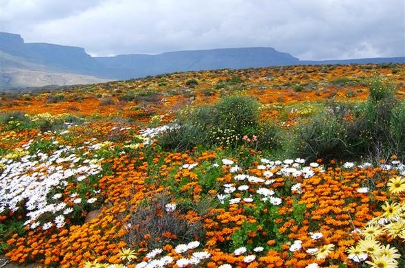 Namaqualand in full bloom