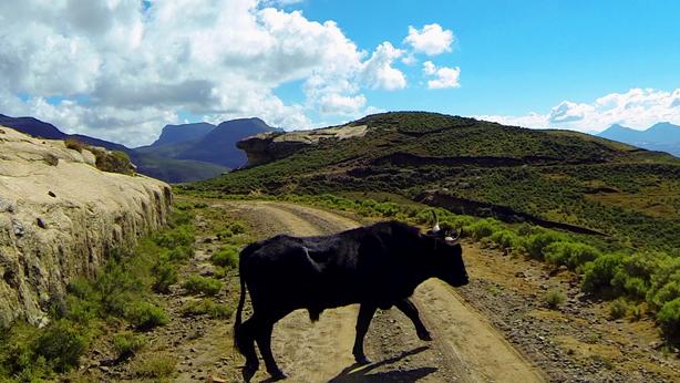 Beware of livestock on this pass