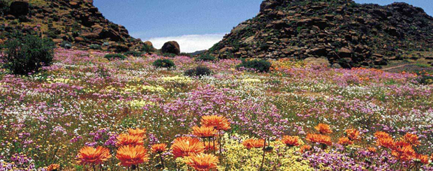 The Namaqualand annual miracle