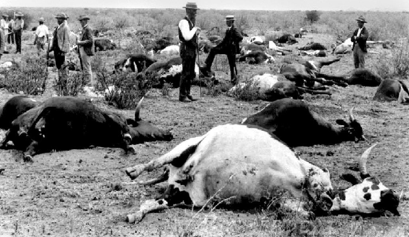 Cattle killed by the Rinderpest