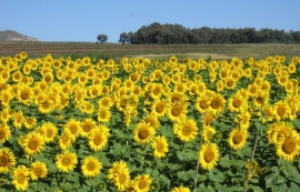 Sunflowers make for a colourful spectacle