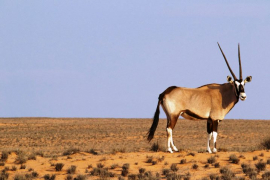 Gemsbok - the iconic emblem of the Northern Cape