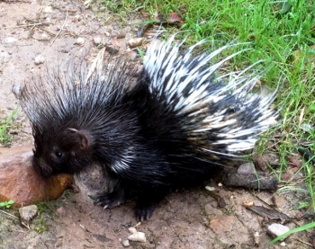 Infant Porcupine