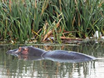 Hippos in the Crocodile River