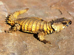 Armadillo Girdled Lizard