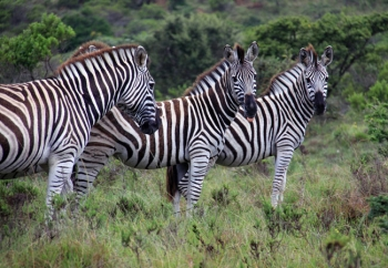 Zebra in the Kaprivier Nature Reserve