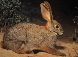 The riverine rabbit is more likely to be seen than a hippo!