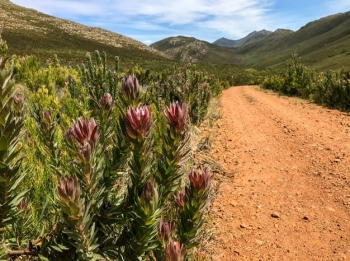 Proteas and fynbos