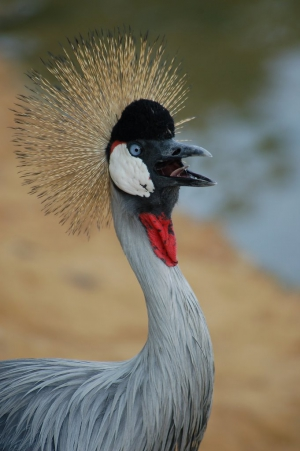 The Crested Crane - sometimes seen near Greyton