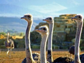 Ostriches thrive in the Karoo