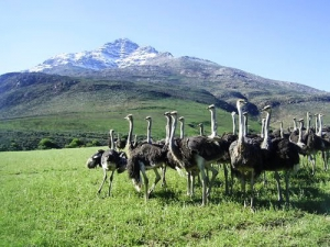 Ostriches are synonomous with the Little Karoo