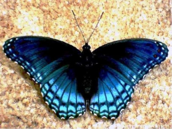 Brenton Blue - a unique butterfly species discovered in the area