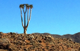 A magnificent Kokerboom variant near the pass