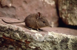 Elephant Mouse - a direct relative