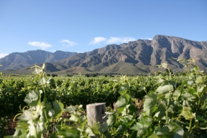 Vineyards in the Breede River Valley