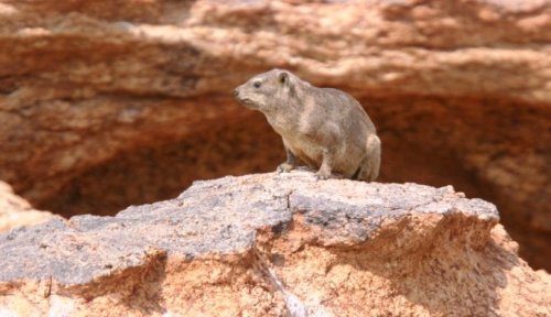 Rock Hyrax (Dassie) is commonly found in many parts of the Northern Cape