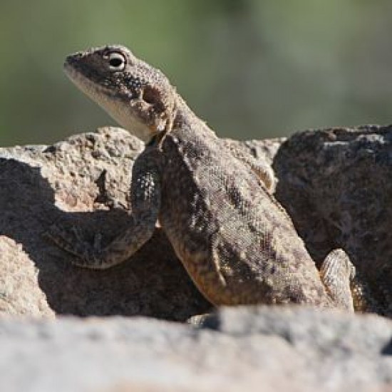 Reptiles enjoy the Karoo climate
