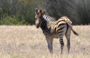 Young Zebra at the Masebe Nature Reserve