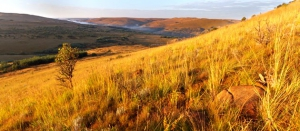 Grasslands and Wetlands of Mpumalanga ensure good grazing for cattle