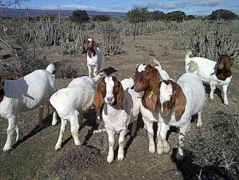 Goat farming in the Jansenville area