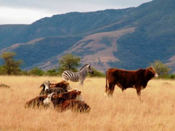 Cattle and Zebra sharing the good grazing
