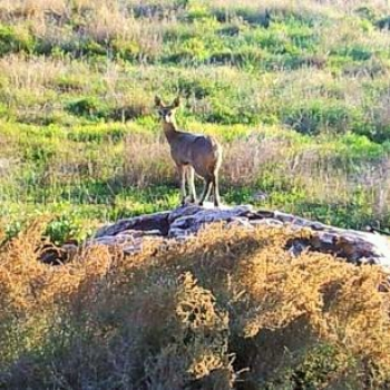 Duiker ewe near the pass