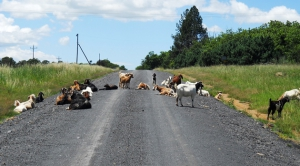 Watch out for livestock on the road!