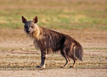 The rarely seen Brown Hyena