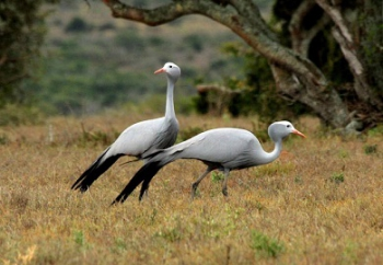 Blue cranes in the reserve