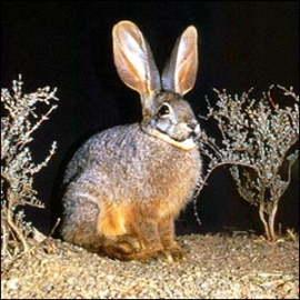 Rabbit species still thriving in the Karoo