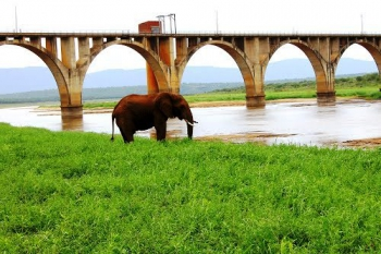 Elephant grazing close to Mvubu lodge at the rail bridge