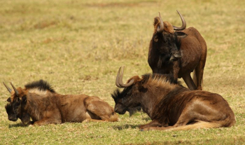 Black Wildebeest at Krugersdorp Game Reserve