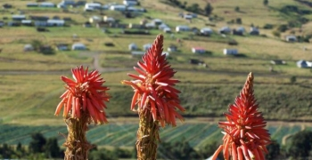 Aloes abound near the pass