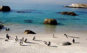 Boulders beach with its famous penguin colony